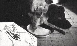 Demikhov's dog