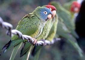 The Wild Parrots